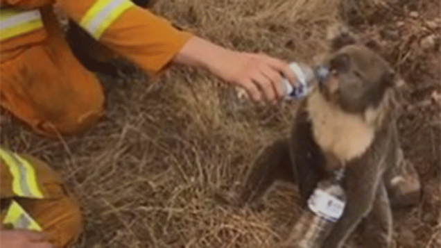 koala getting hlep from a Firefighter